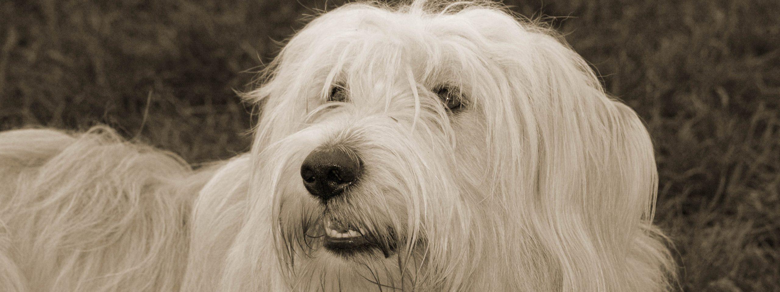 langhaariger weißer Hund schaut ängstlich