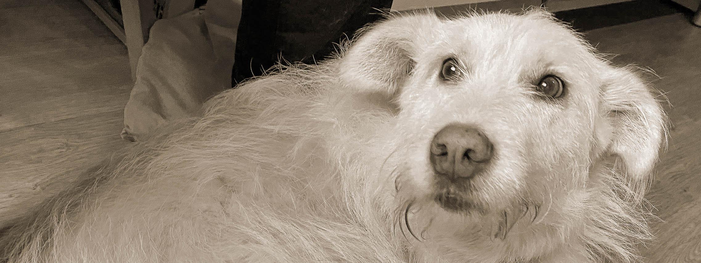 Hund liegt am Boden und schaut ängstlich - Angsthund