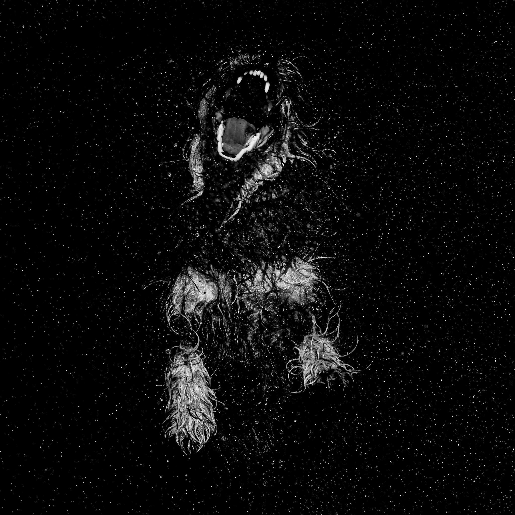 Hund springt im Spiel mit offenem Fang - schwarz weiß