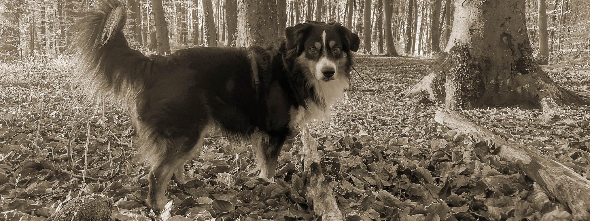 Hund steht im Wald mit erhobener Rute