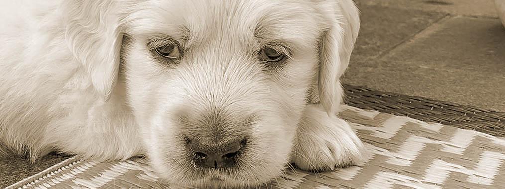 Welpe liegt auf einer Decke, ist müde