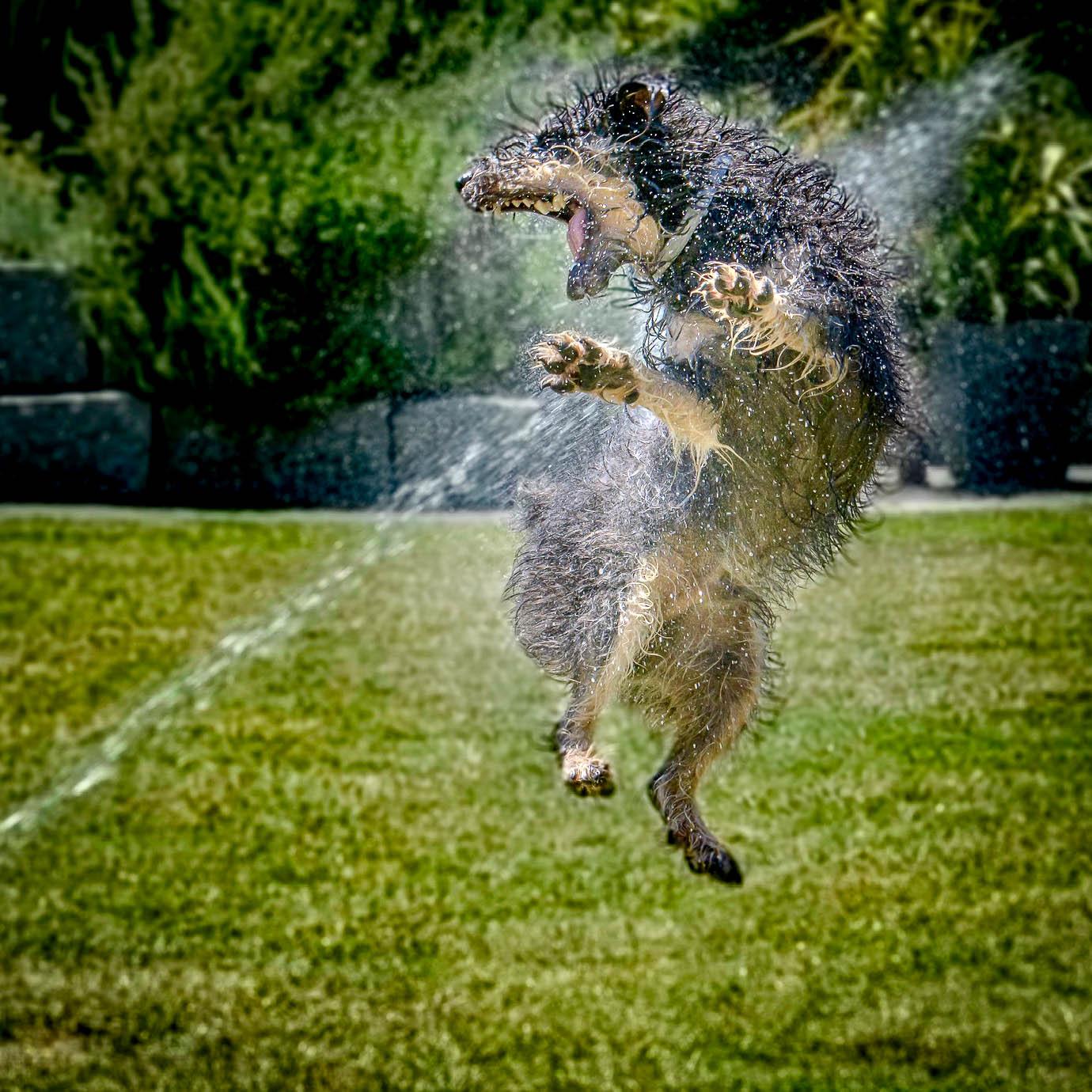 Hund springt hoch und versucht in einen Wasserstrahl zu beissen
