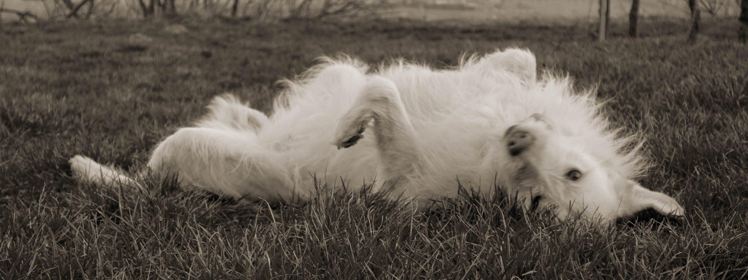 weißer Hund liegt auf dem Rücken im Gras