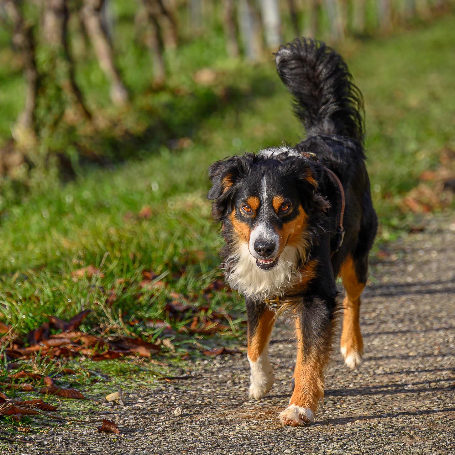 Hund geht mit erhobener Rute auf einem Feldweg