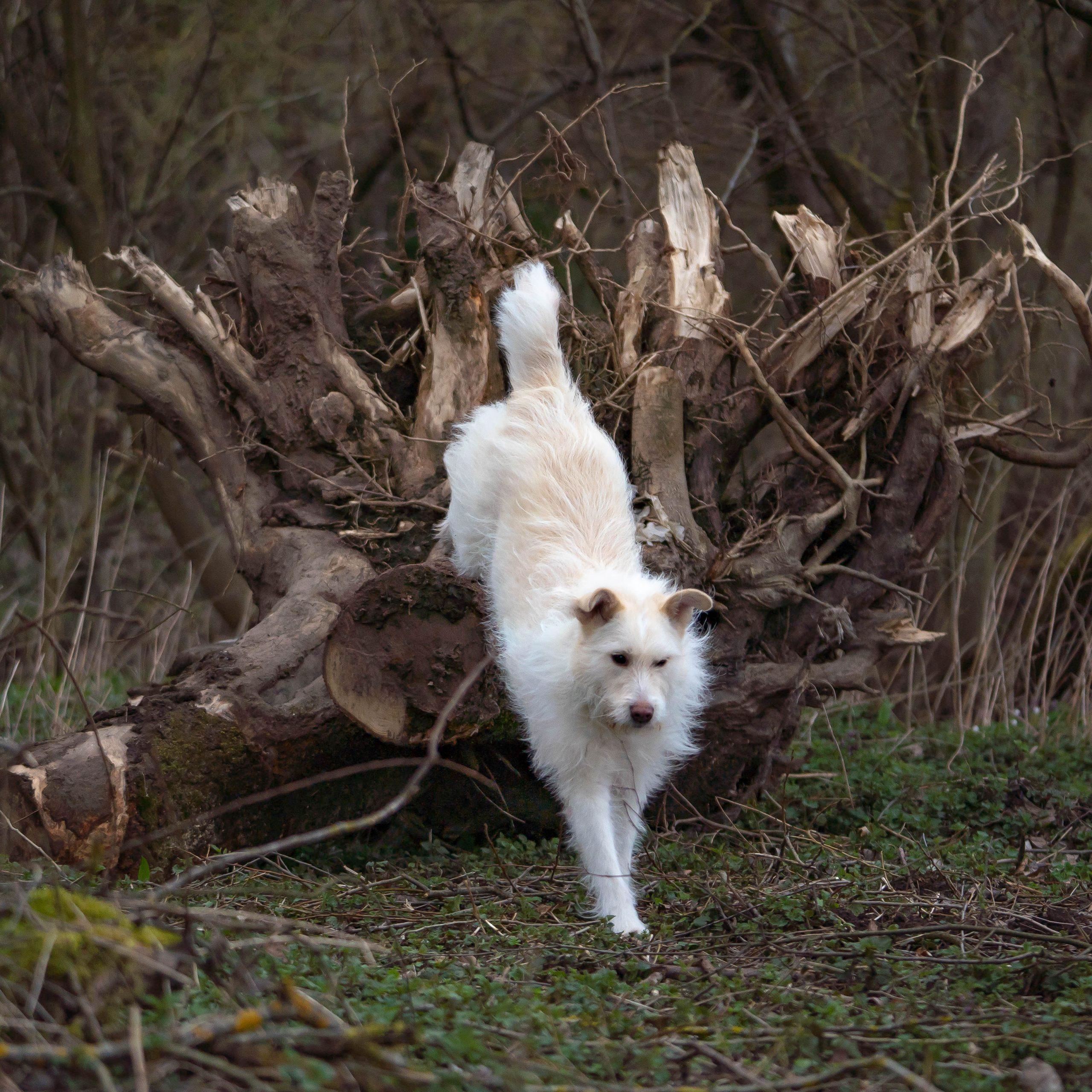 weiße Hündin springt von einer Baumwurzel