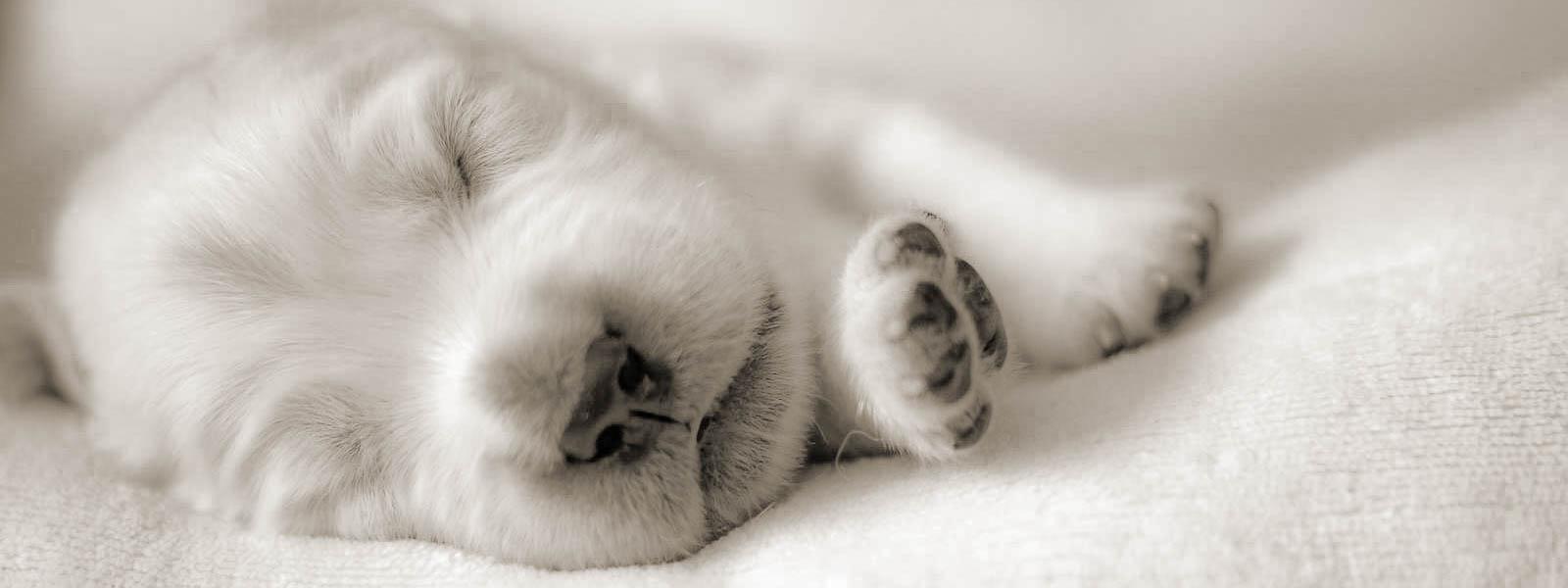 wenige Tage alter Golden-Welpe liegt und schläft