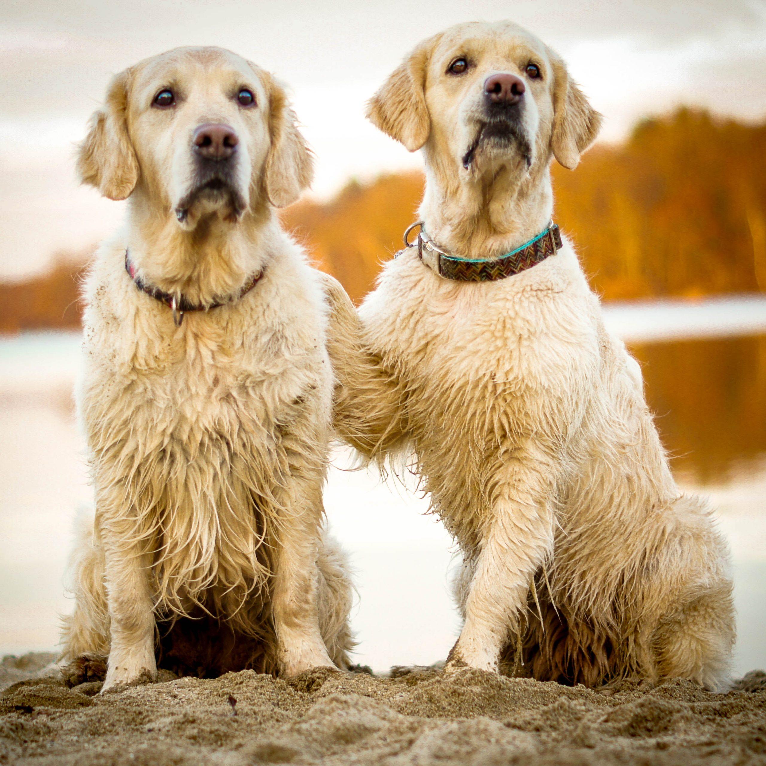 Zwei Golden am Wasser, einer legt dem anderen die Pfote auf die Schulter