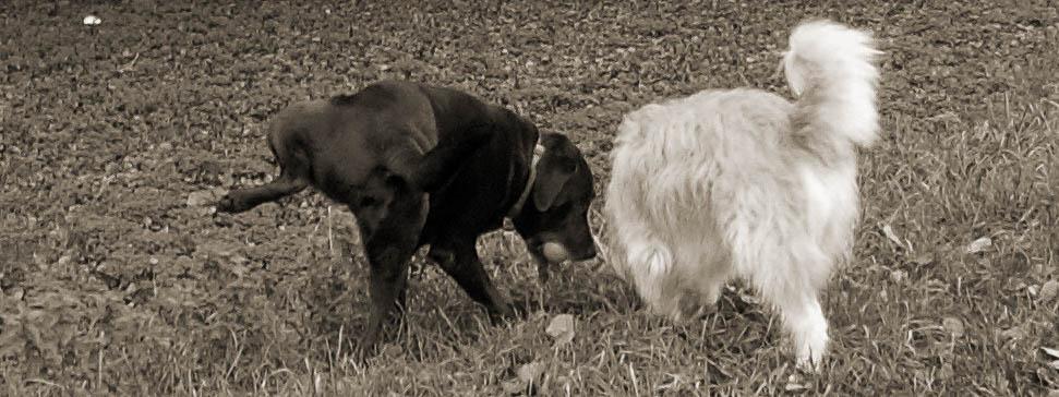 Labrador und Schafspudel schnuppern an einer Stelle