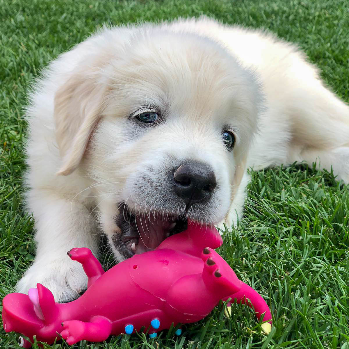 Ein Welpe spielt im Gras mit einem Spielzeug