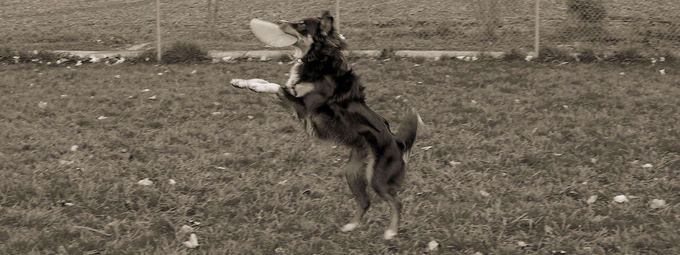 Hütehund springt in die Luft und fängt eine Frisbee