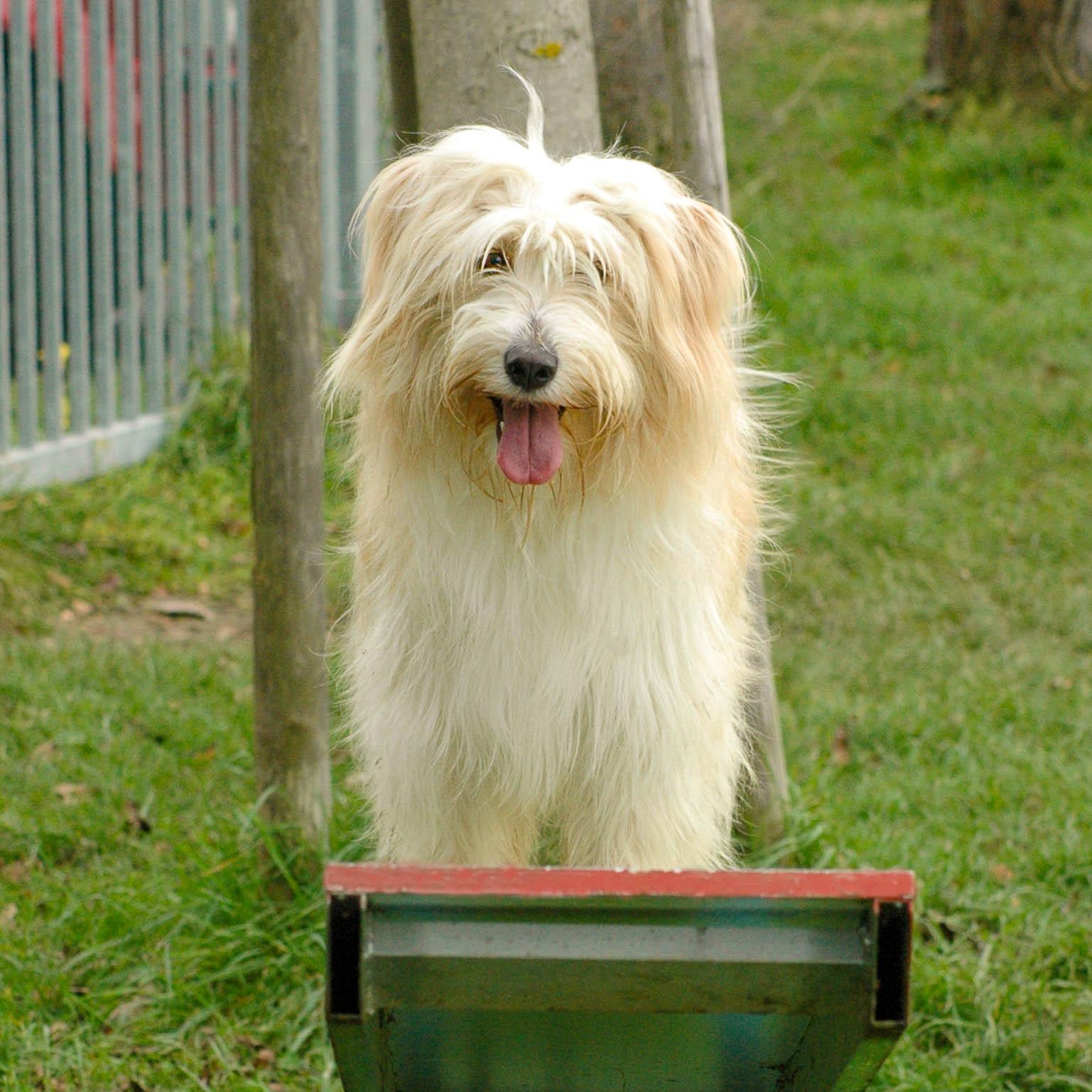 Hund steht auf einer Wippe und hechelt