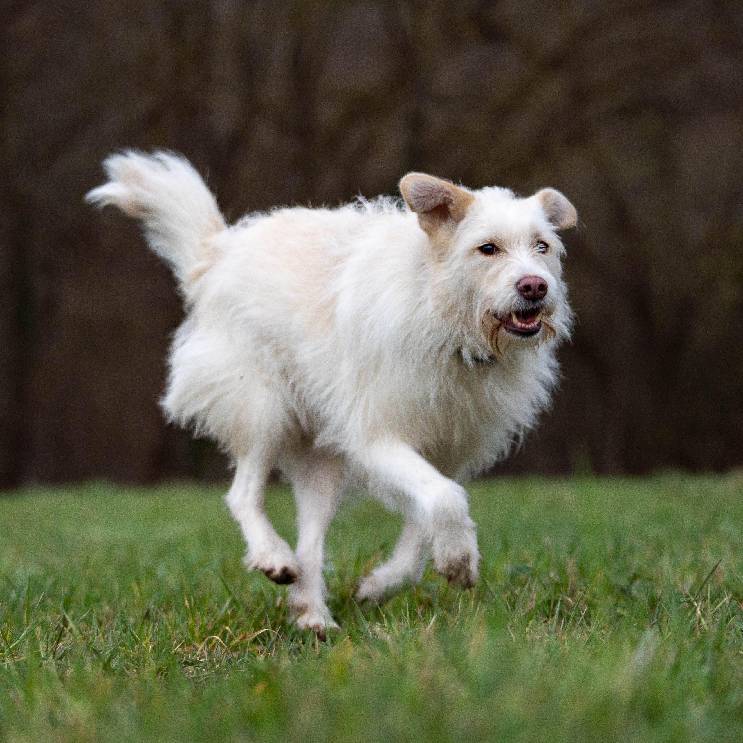 ein Hund rennt entspannt über eine Wiese