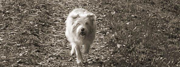 Hund rennt auf einer Wiese freudig auf Kamera zu