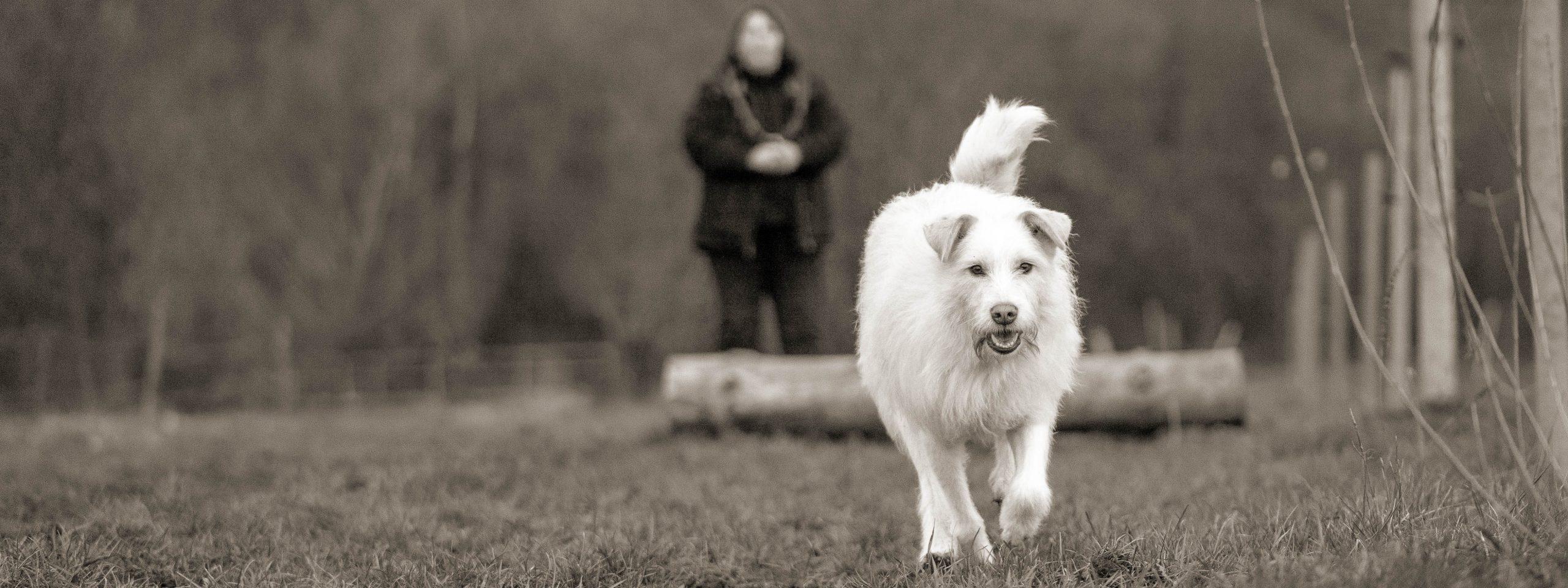 weißer Hund rennt, Mensch im Hintergrund