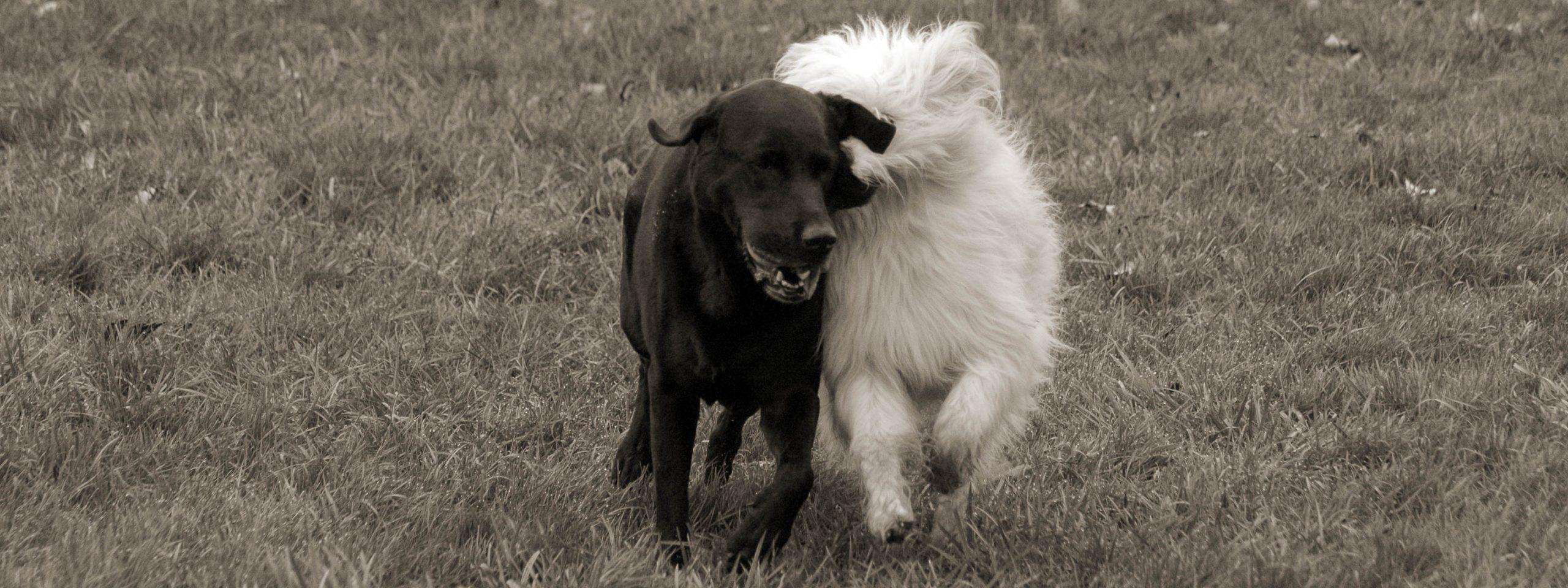 zwei Hunde spielen miteinander, der eine hat einen Ball im Maul