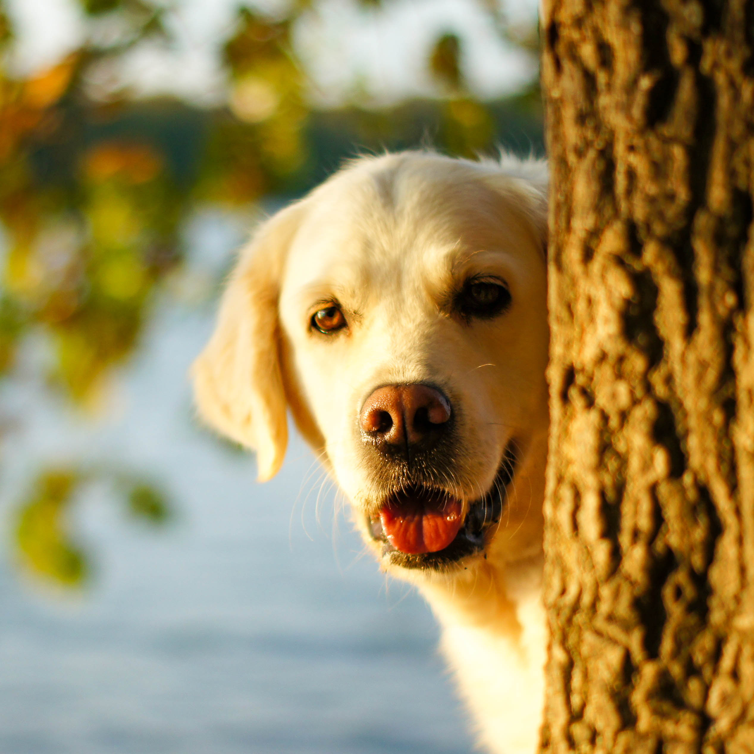 Golden Retriever schaut hinter einem Baum hervor