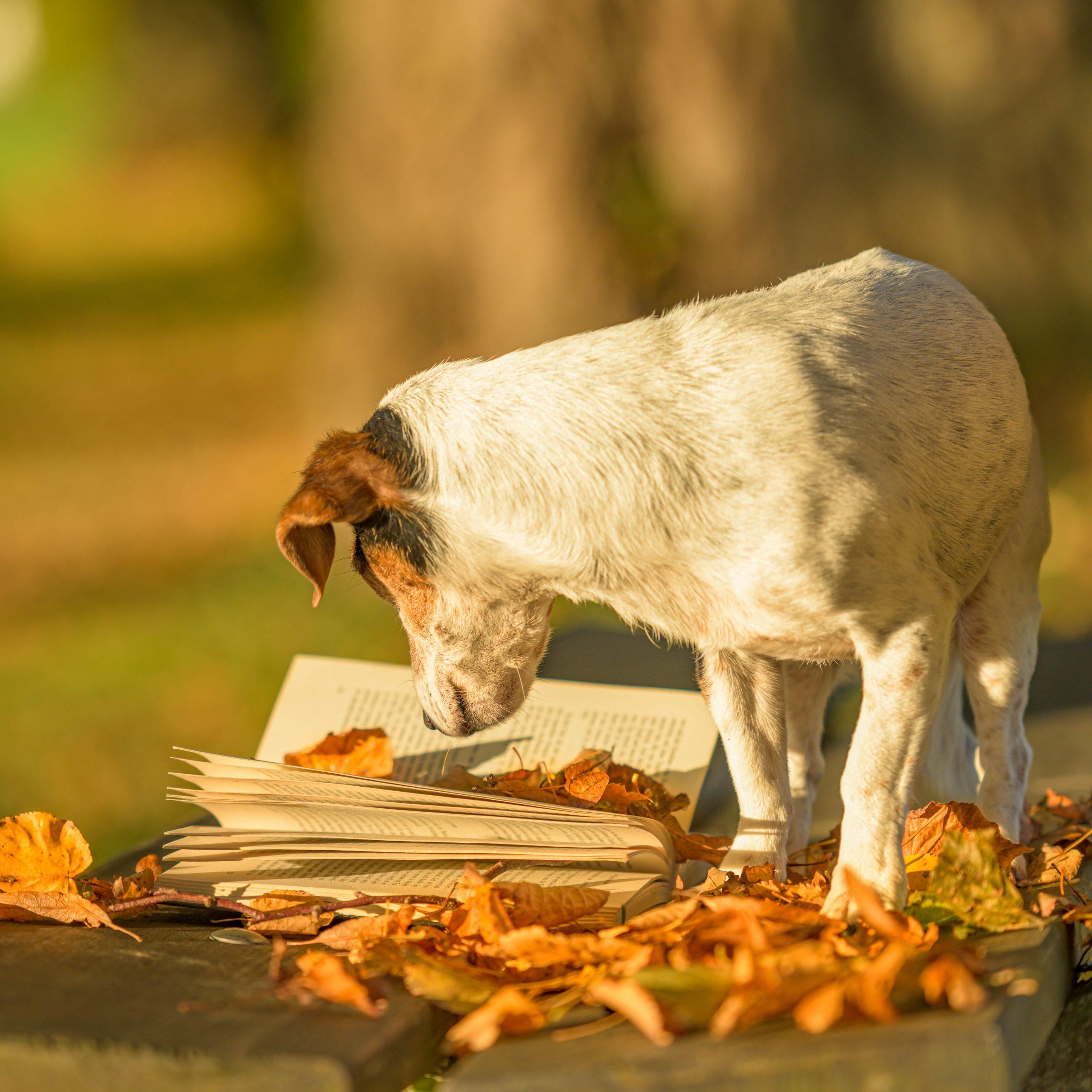 """Jack Russell steht auf einer Bank und """"liest"""" ein Buch"""
