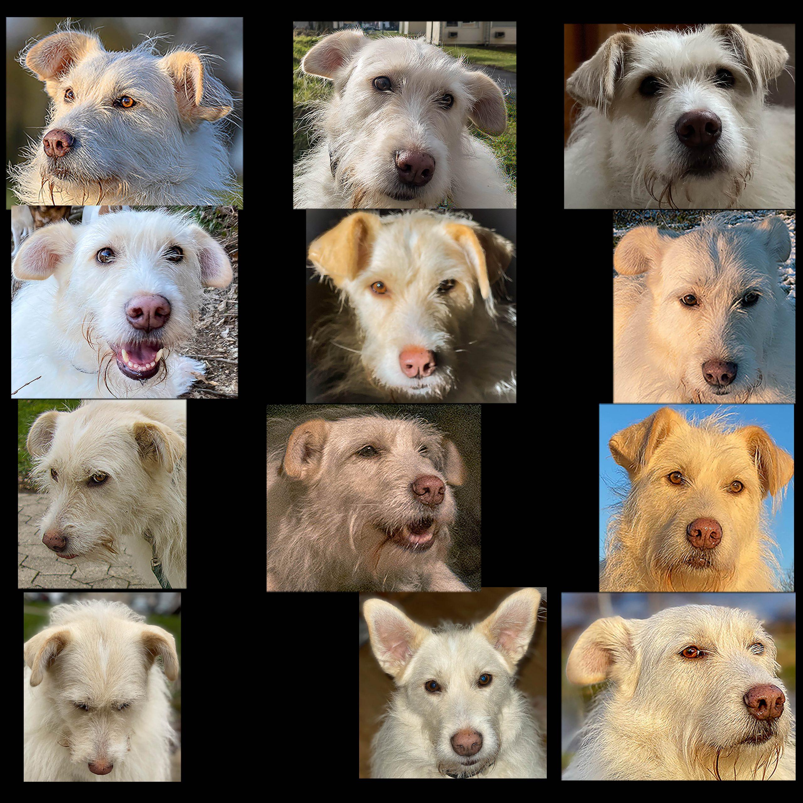 unterschiedliche Hundegesichter einer Hündin