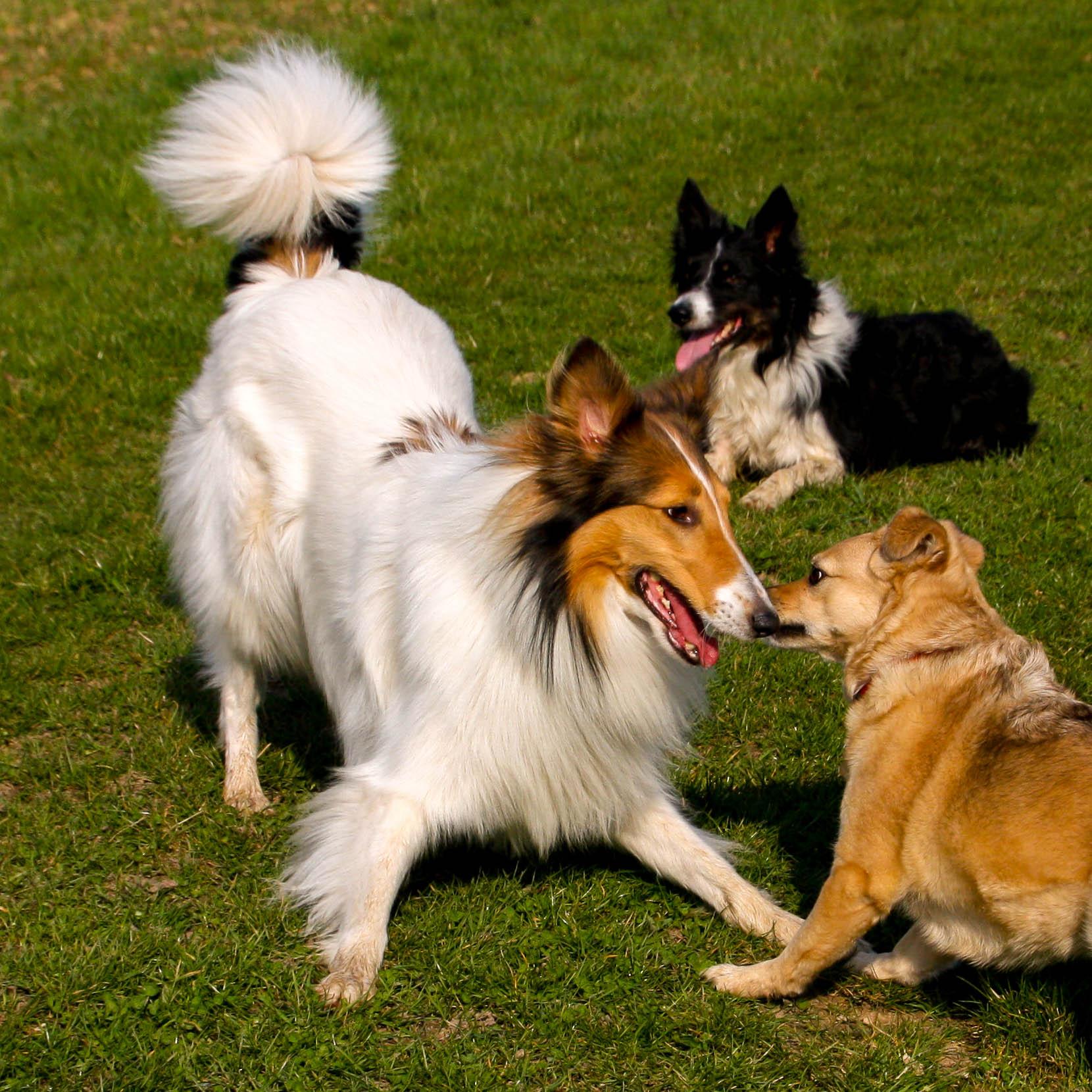 Hund signalisiert Körpersprache Spielaufforderung