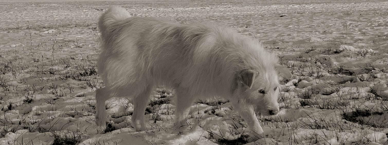 Ein weißer Hund im Schnee auf einer Wiese