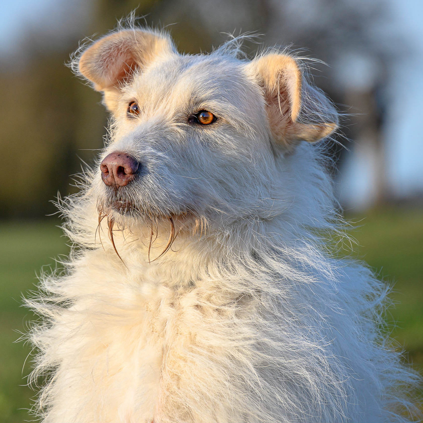 stubeliger, weißer Hund im Porträt