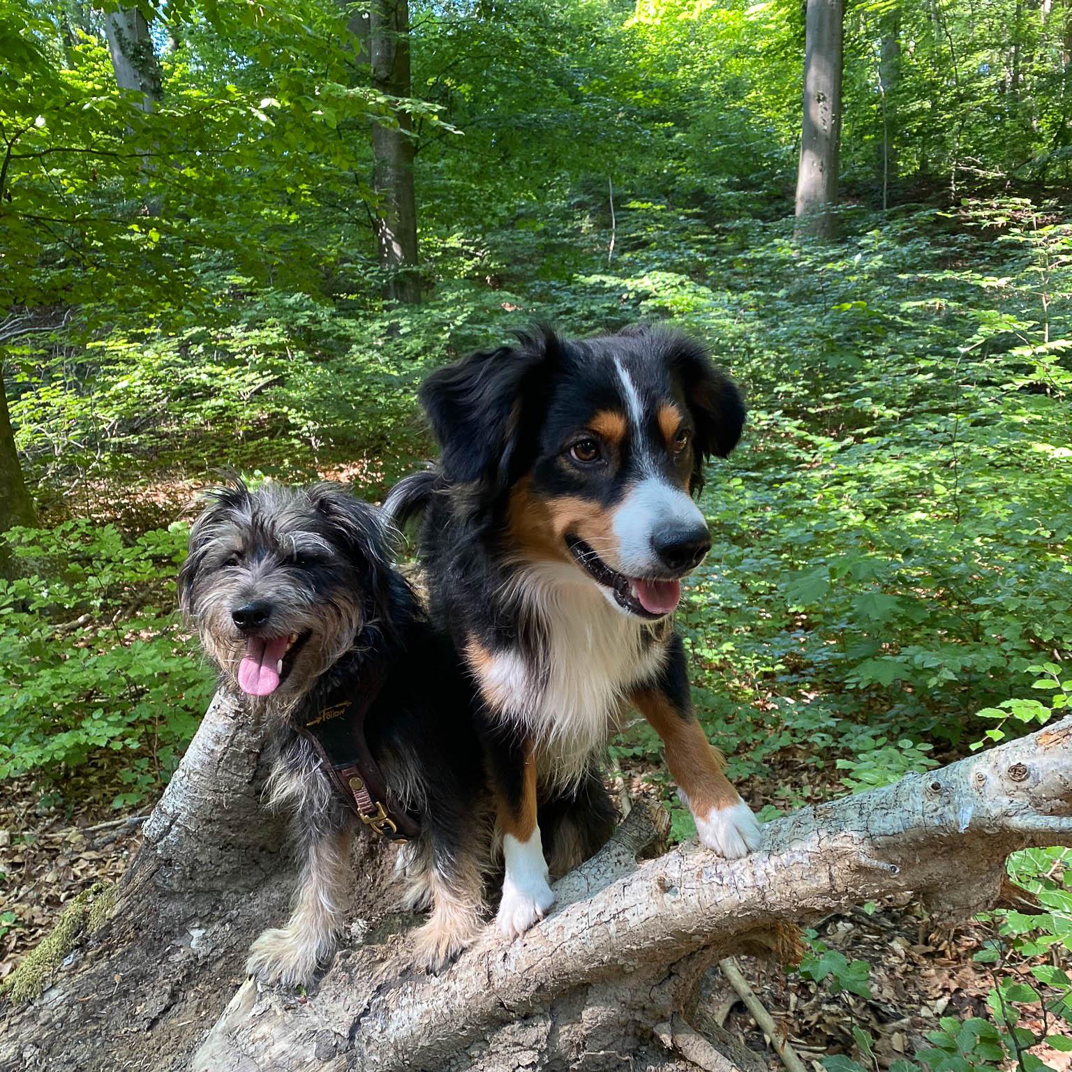 Zwei Hunde klettern auf einem Ast im Wald