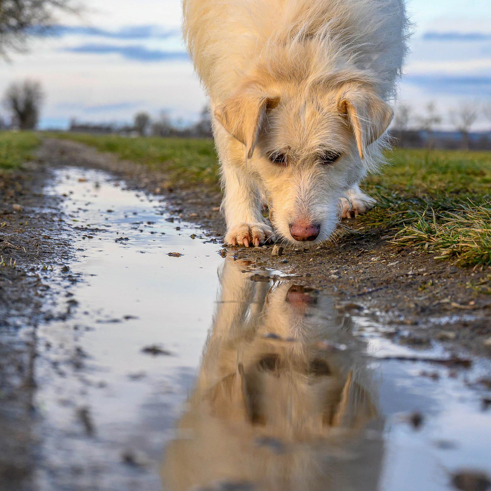 Hund spiegelt sich im Wasser einer Pfütze