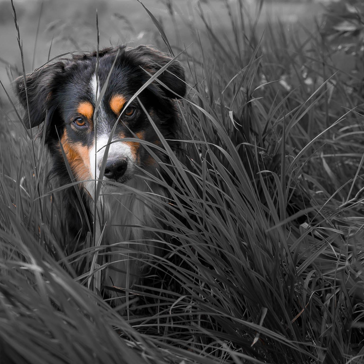 Aussi versteckt sich im hohen Gras