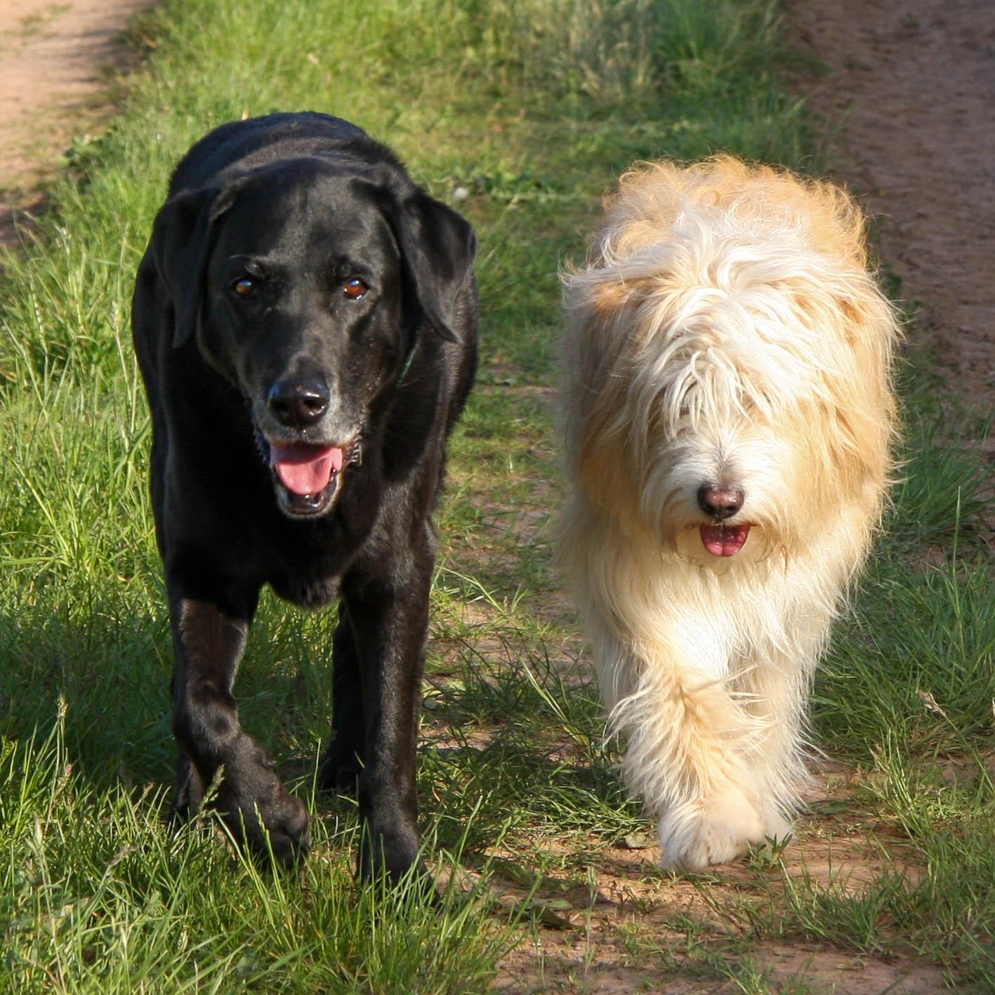 Labrador und Schafspudel gehen nebeneinander spazieren