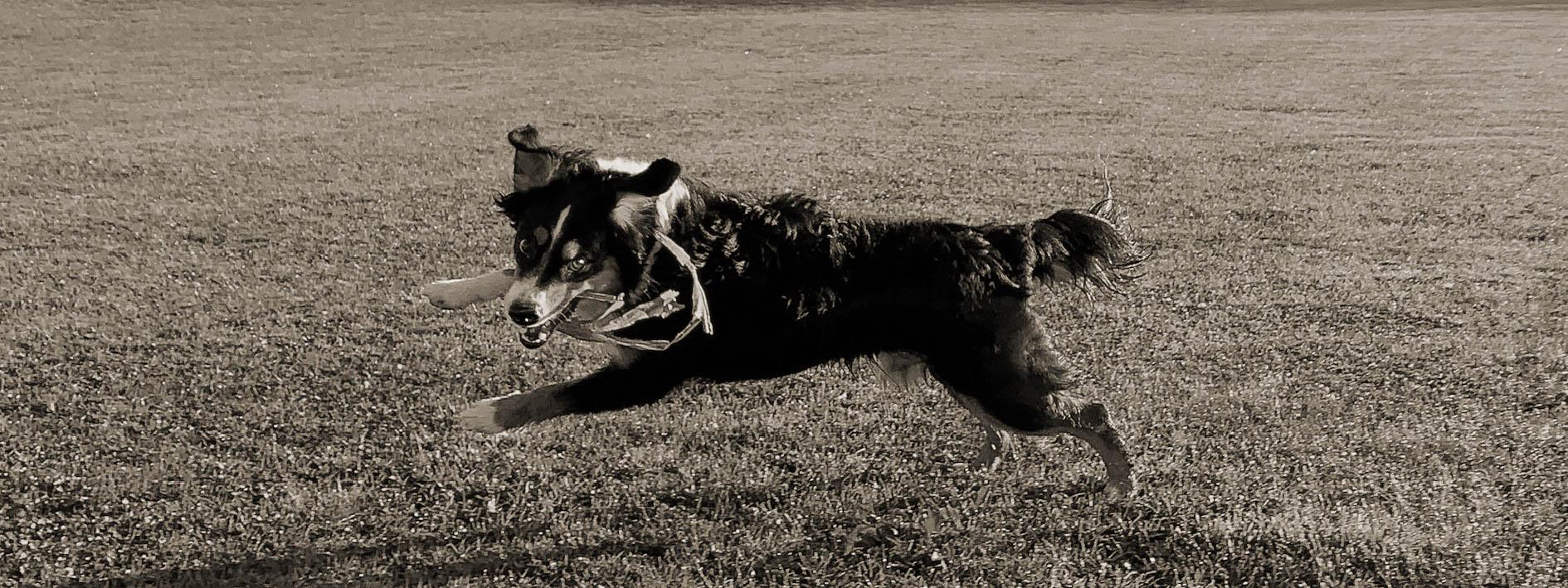 Ein junger Hund rennt über eine Wiese