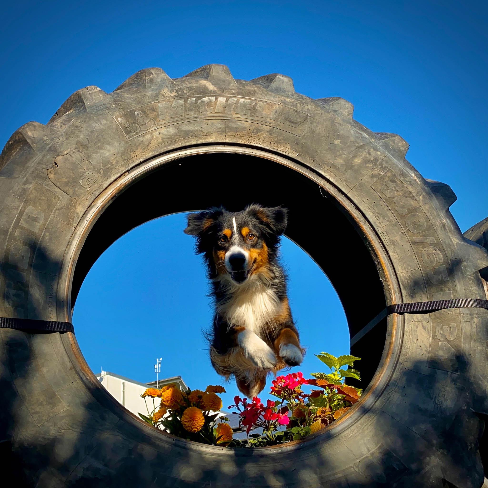 Aussi springt durch einen großen Reifen