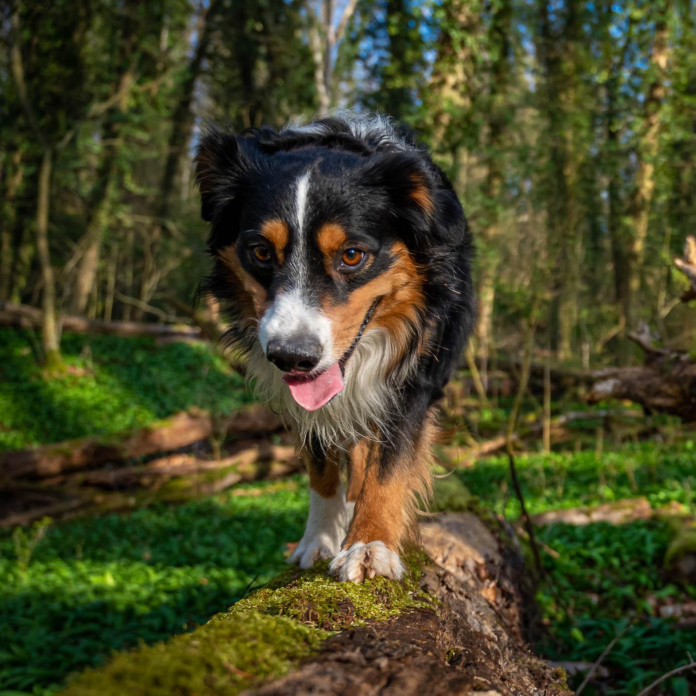 Ein Hund balanciert auf einem Baumstamm im Wald