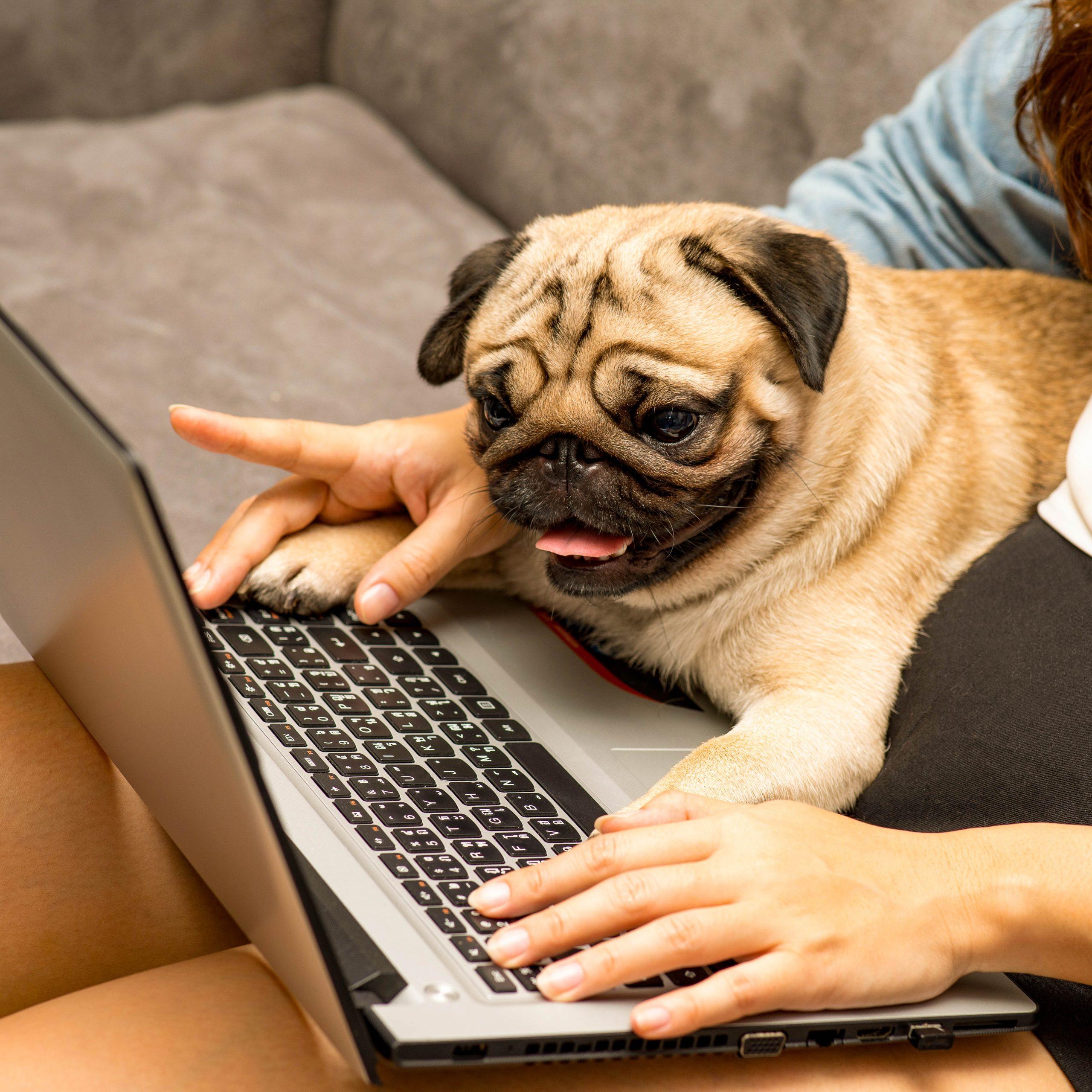 Ein sitzt Mops mit Frauchen am Computer und lernt