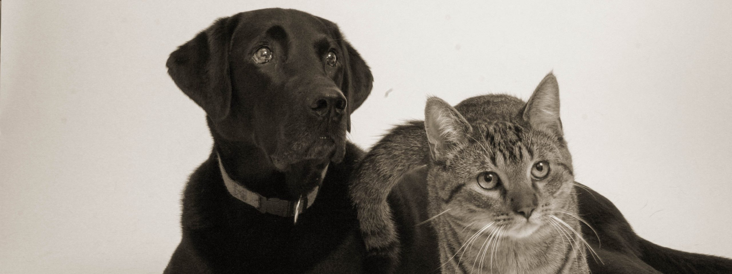 Labrador mit getigertem Kater friedlich