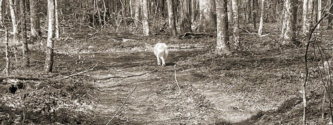 Hund läuft auf einem Waldweg alleine spazieren