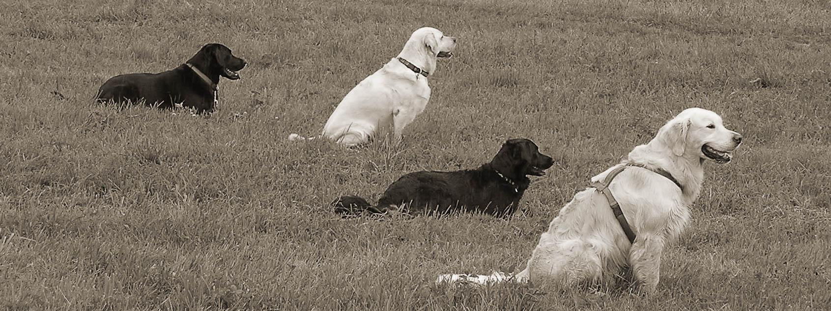 Vier Hund üben auf einer Wiese Sitz und Platz