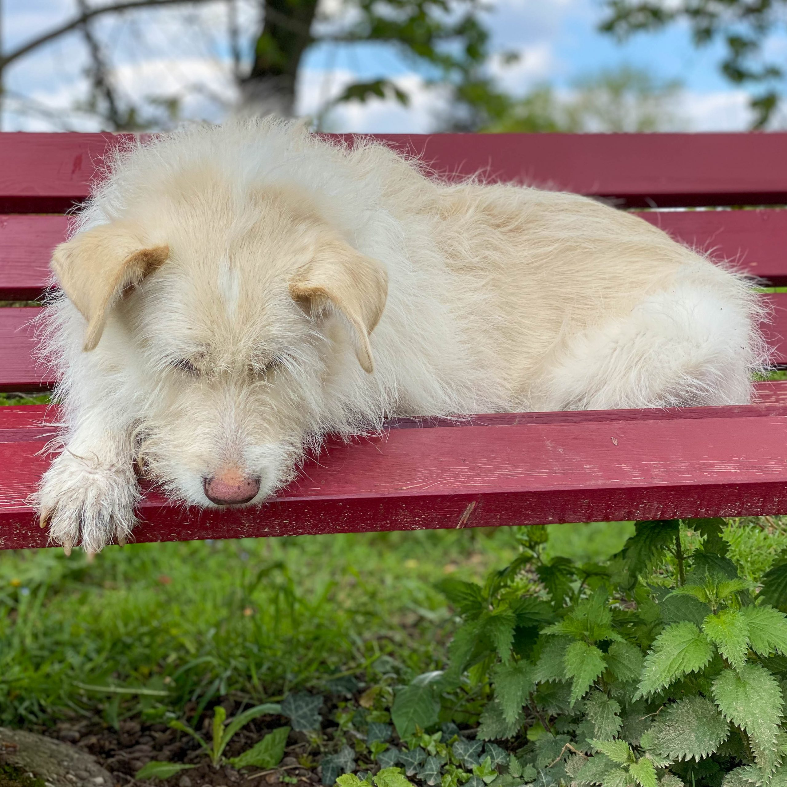 Weißer Hund liegt entspannt auf einer roten Bank