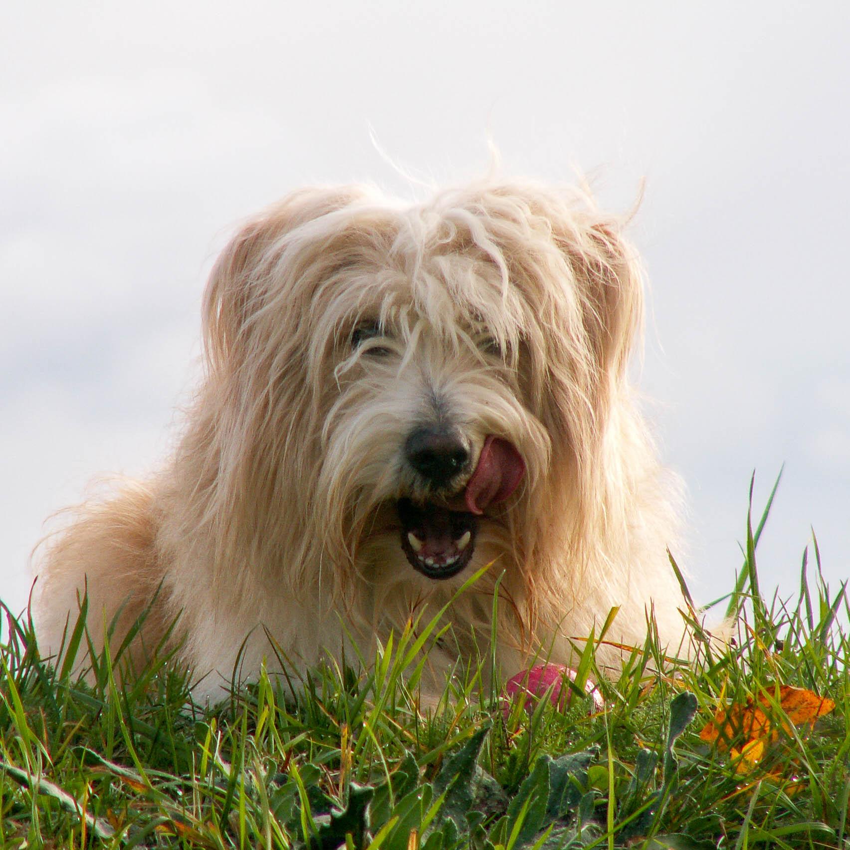 Heller langhaariger Hund auf der Wiese