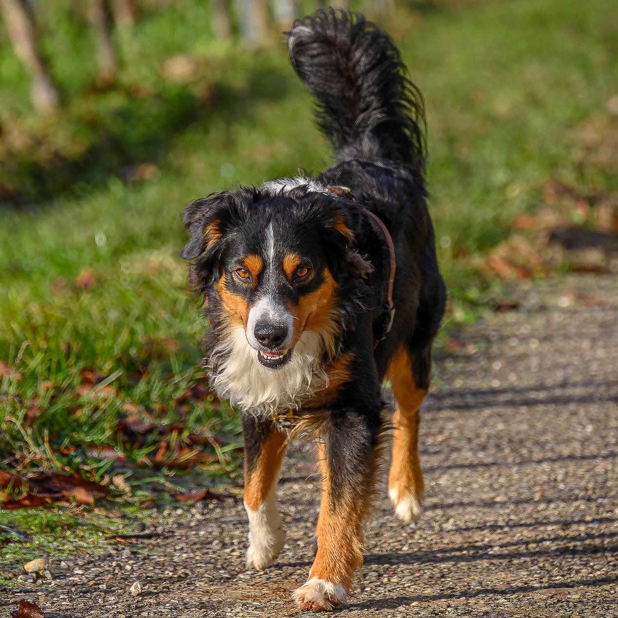 Hund mit erhobener Rute - Körpersprache Hund
