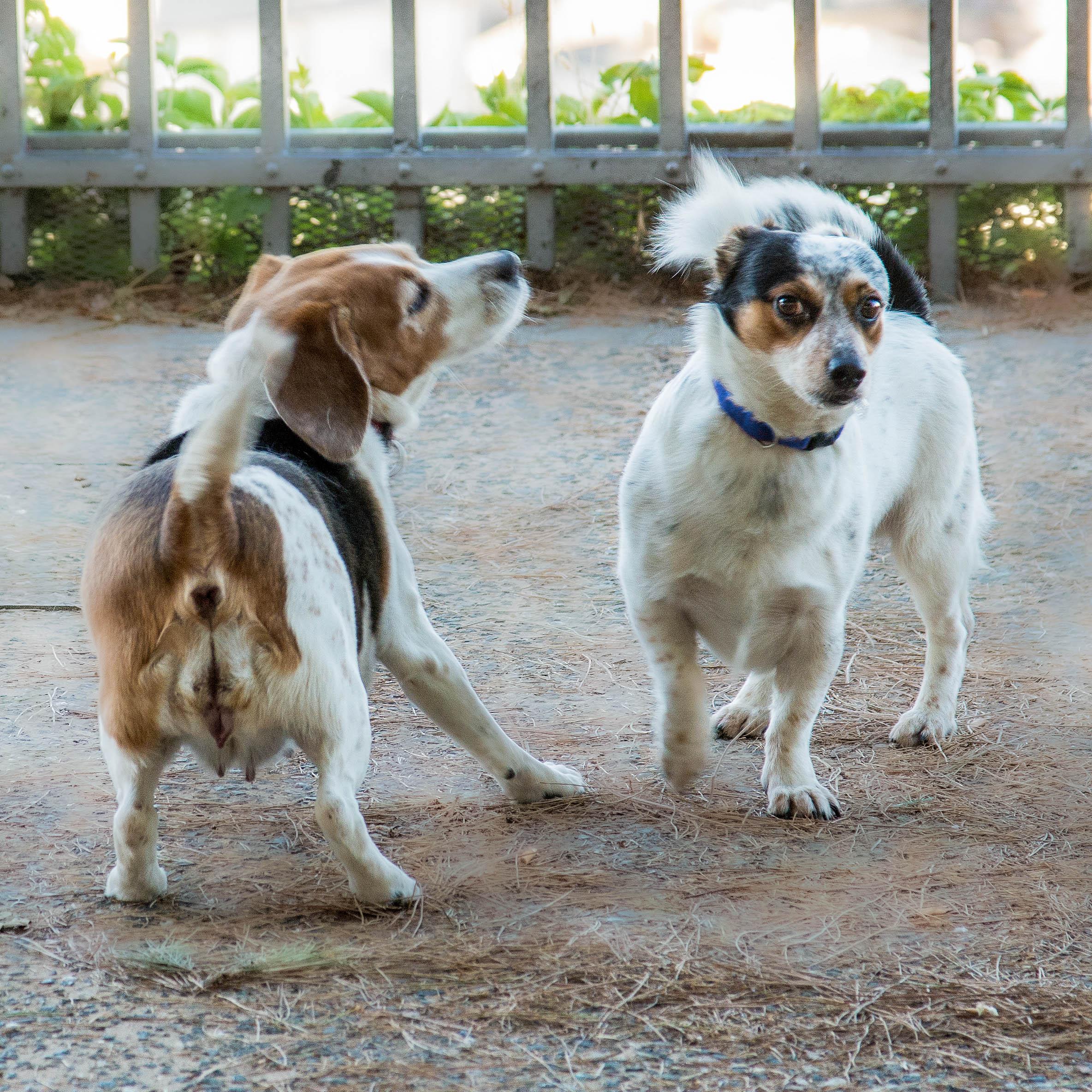 Hundebegegnung von zwei kleinen Hunden - Körpersprache Hund
